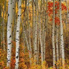"""Peter Lik Photo Art Element 9.75"""" x 9.75"""" Squared Lik2 #101 Aspen Birch Trees"""