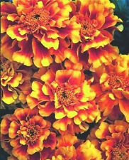 50 Marigold Seeds Ez Grow French Marigold Double Yellow And Red Detailed Seeds