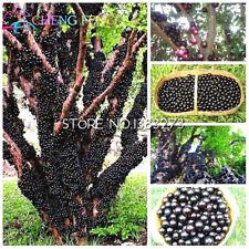 Brazilian Grape Tree (Jabuticaba)- Grows Fruits On its Trunk 30 pcs ship 25-45da