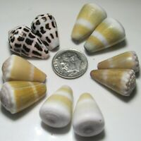 Hawaiian Cone SeaShell Pairs - Hebrew, Conus Flavidus...Hand Picked Oahu & Kauai
