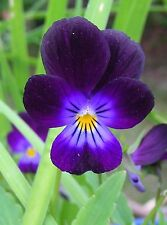 Viola Tricolor Seeds : Wild Pansy or Violet / Viola Cornuta / Johnny Jump Up