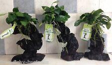Mbuna Anubias Nana Bogwood Rare Tropical Live Aquarium Fresh Plant *STUNNING *