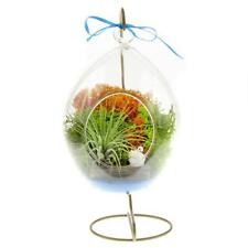 Nw Wholesaler Teardrop Terrarium with Live Tillandsia Air Plant Complete Diy Kit