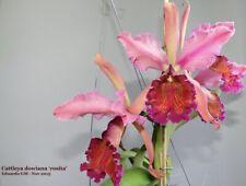 Orchidee Cattleya dowiana var. Rosita / Selten!!!!