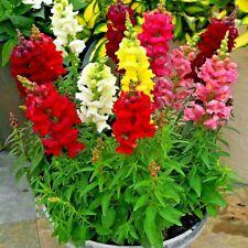 2000+SNAPDRAGON Giant Tetra Mix Seeds BUTTERFLIES Cut Flowers Garden Containers