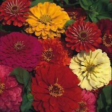 Zinnia - Dahlia Flowered Mixed - 150 Seeds