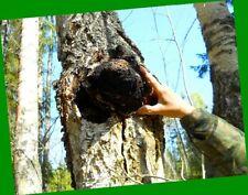 Chaga Mushroom Siberian 2020 Harvest Altai 1-4 Lb