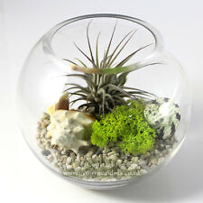 Air plant Kit in glass Terrarium with Red Ionantha and feature seashells.