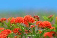 Knollige Seidenpflanze Asclepias tuberosa 10 Samen VERSANDKOSTENFREI !!