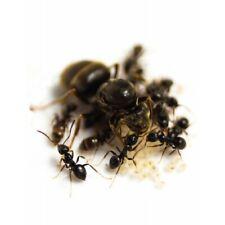Lasius niger queen + 10-20 W 2020