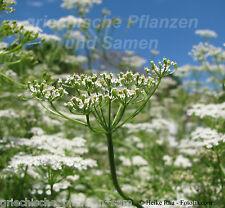 Echter Kümmel Heilpflanze herbes PLANTE AROMATIQUE 50 graines frais balcon