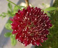 25+ FIRE KING SCABIOSA PINCUSHION FLOWER SEEDS PERENNIAL