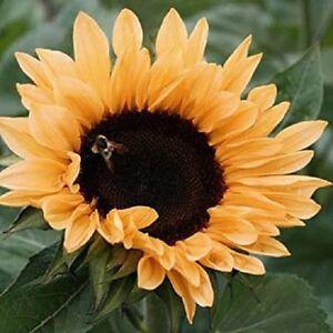 25+ Sunflower / Peach Passion / Helianthus Flower Seeds / Annual
