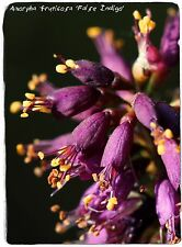 Amorpha fruticosa 'False Indigo' 100+ SEEDS