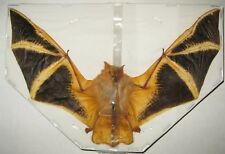 Real Bat Kerivoula picta (spread-wingspan 18-20cm) Horror Taxidermy Gothic
