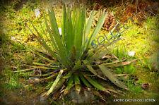 RARE AGAVE FILIFERA SCHIDIGERA thread-leaf succulent aloe plant seed - 15 SEEDS