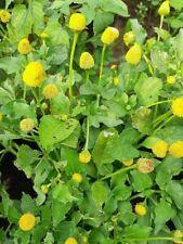 Paracress 'Lemon Drop' - Electric Daisy - Spilanthes oleracea - 10+ seeds