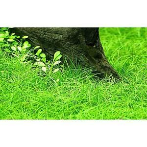 200 + eleocharis parvula, dwarf hairgrass, live aquarium aquatic plant
