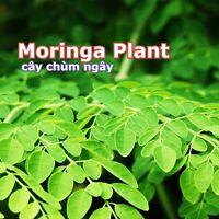 "Grown Moringa 'Oleifera' Potted Plant Mature 5-8"" long Edible Leaves Plant Tree"