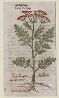 JOHN GERARD BOTANICA MATTHIOLI 1597 PASTINACA SPONDYLIUM INCISIONE ORIGINALE