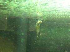 Suspension algae for filter feeding shrimp!