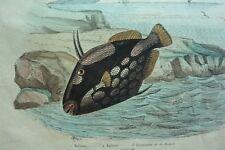 Gravure couleurs XIXe * Balisier Baliste Balsamier de La Mecque  Hist. naturelle
