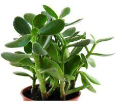Live Jade Plant Crassula Ovata Plant  (height 6-8 inches)