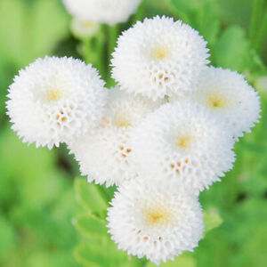 100 Daisy Seeds SnowBall Chrysanthemum Flowers UK Hardy Perennial Plants To Grow