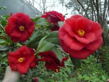 CAMELLIA CUTTINGS, 6 ROYAL VELVET - ABUNDANT BEAUTIFUL LRG RED BLOOMS,LRG BUSH
