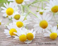 🔥 Echte Kamille 100 frische Samen Balkon Heilpflanze aus dem eigenen Garten
