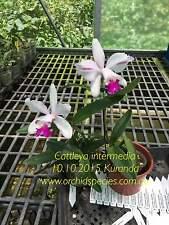 QOB Orchid plant Cattleya intermedia - Flowering size 90mm pot