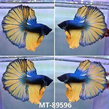 (Stock Photo) Blue Base Mustard Big FanTail Halfmoon Male Betta Fish - Quality A