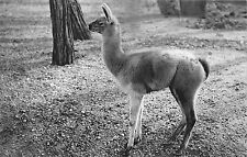 BF39583 jeune guanaco zoo paris france  animal animaux