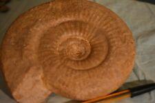 ammonite Choffatia (grossouvria) Evolutescens callovien  France