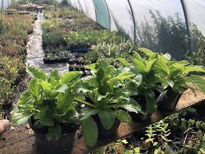 CANTERBURY BELLS Campanula medium - Biennial Flower Plants X3 In 10cm Pots