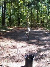 4'-5' live Granny Smith Apple Fruit Tree 5 Gal. Trees Grow Juicy Green Apples