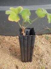 1 x mint geranium Pelargonium tomentosum perennial herb plant tube size