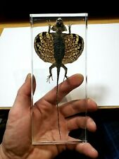 DRACO VOLANS FLYING DRAGON. Real  lizard Immortalized in casting resin !!!