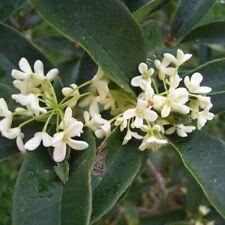 Tea Olive, Five plants, fragrant white flowering, Osmanthus fragrans