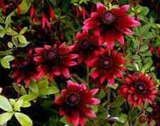 50+ Cherry Brandy Rudbeckia Fowers Seeds / Reseeding