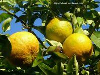 Naranjo Navelina, Citrus Sinensis Orange tree live plant fruit
