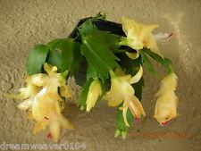 Schlumbergera Christmas Cactus Yellow