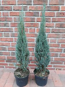 2 blaue Raketenwacholder, Juniperus scop. Blue Arrow (Höhe: 120-130 cm) + Dünger