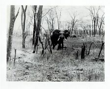 1986 Vintage Photo elephant aware of Safari in East African Wildlife of Zambia