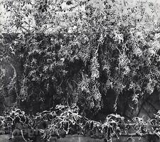 1920/63 Vintage 11x14 GARDEN Vine Floral Botanical France Art By EDWARD STEICHEN