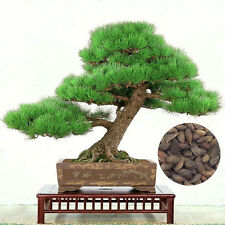 Pine Tree Seeds Potted Landscape Japanese Five Needle Pine Bonsai Maple Bonsai