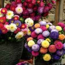 Aster Mischung Garten Pflanze Blume 300 Samen Nr.352