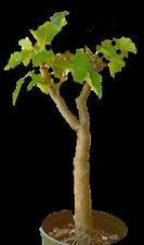 Jatropha curcas biodisel green fuel rare succulent plant semi seed 100 seeds