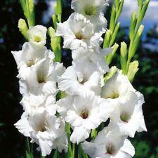 Gladioli Bulbs Sword Lily Gladiolus Flower Prosperity Perennial Rare Patio Plant