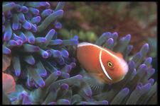 210087 anémonas peces kimbe Bay Papúa Nueva Guinea A4 Foto Impresión